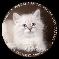 Купить невского маскарадного котенка,  купить сибирского котенка в Москве