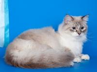 Сибирская кошка Умка