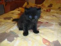 Котята сибирские